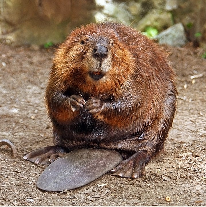 The North American beaver (brown). Photo by: S. Steve