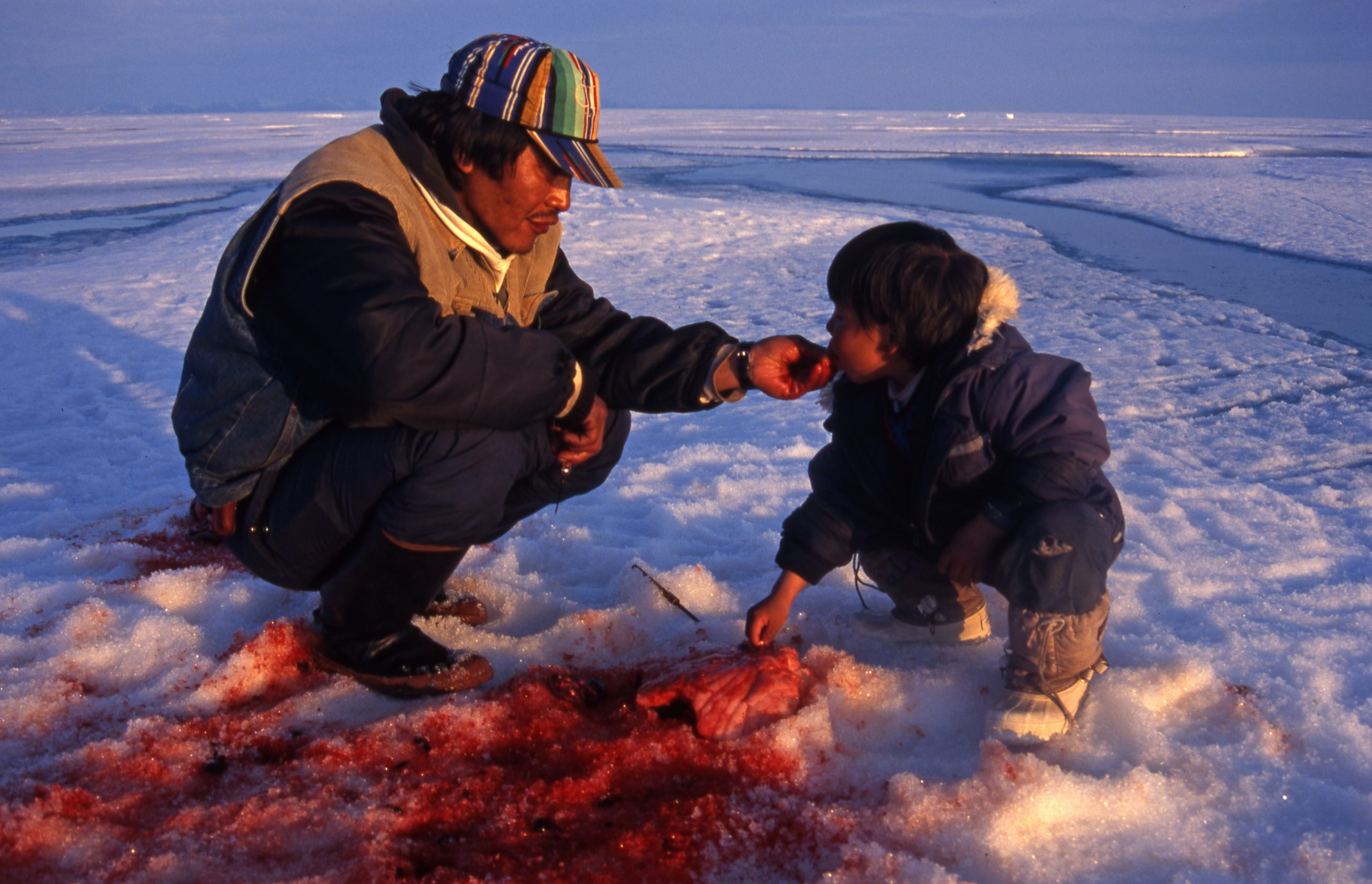 Inuit hunter feeds his child with meat from freshly hunted ring seal, Pond Inlet, Canada. Photo credits to: GRID-Arendal