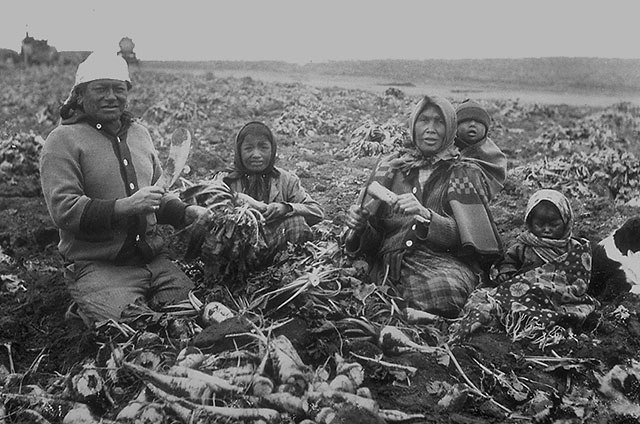 Farming on Reserves - A Blackfoot family, from a reserve near Raymond, Alberta, working as farm labourers on a sugar beet farm in Raymond, circa 1910. Photo by: John Woodruff, 1859-1914 Credits to: Library and Archives Canada