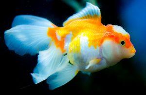 image of a goldfish