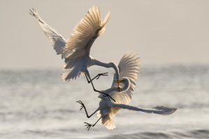 Photo of two white crane birds mid-flight and fighting