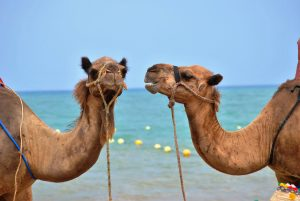 photo of two camels that appear to be talking and listening