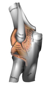 Elbow Joint From Gray's Anatomy (1918)