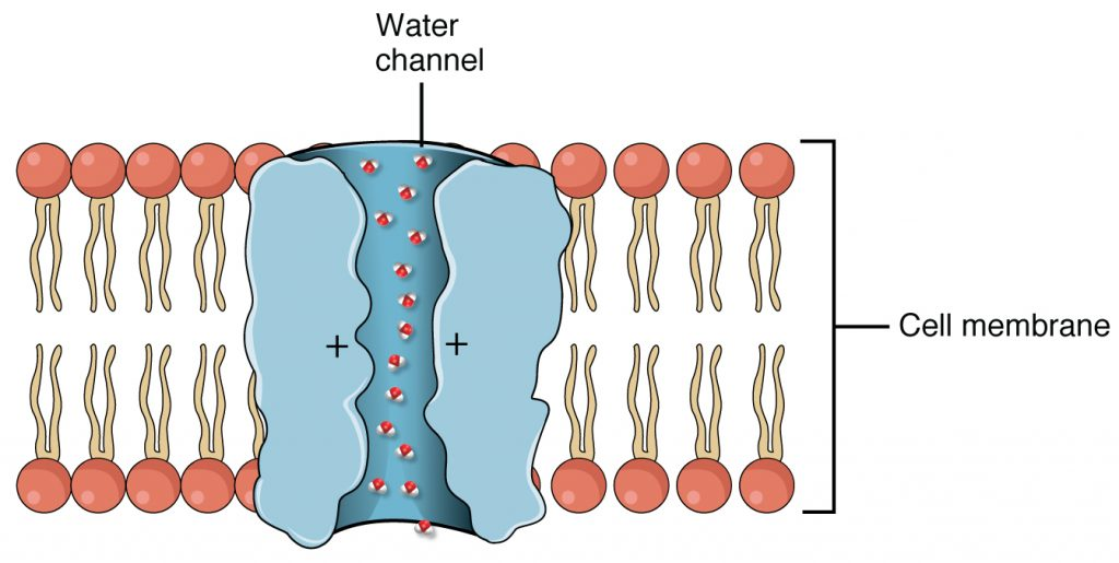 Facilitated diffusion. A diagram with a phospholipid bilayer (plasma membrane) in the middle of the image. Water molecules move through a trans-membrane protein channel according to osmosis