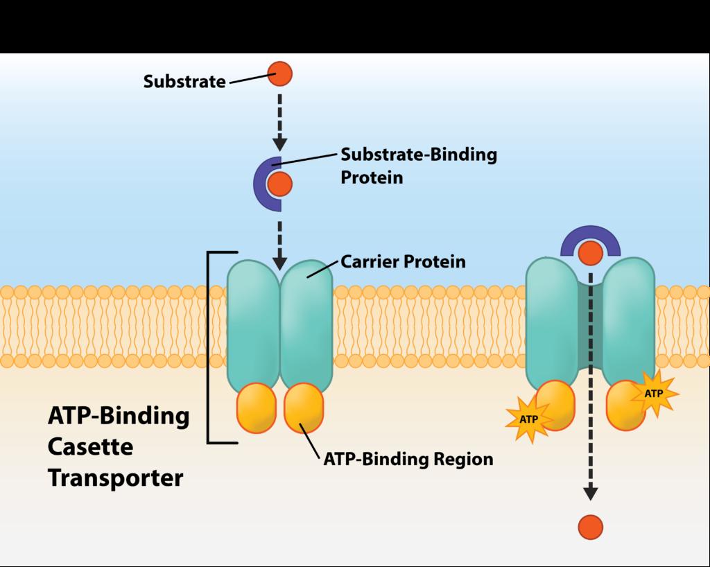 Figure depicting the multi-component ABC transporter.