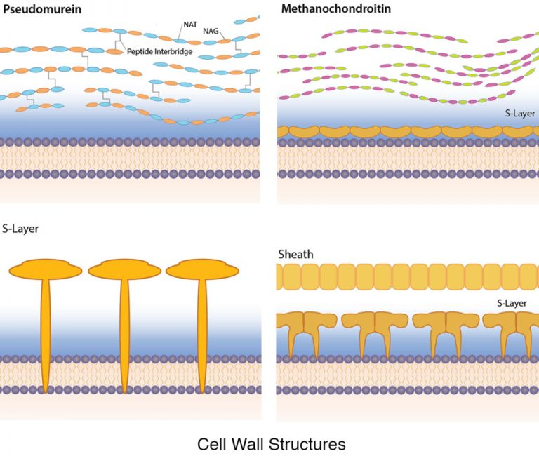 A diagram depicting four different archaeal cell wall structures pseudomurein, methanochondroitin, S-layers and a proteinaceous sheath.