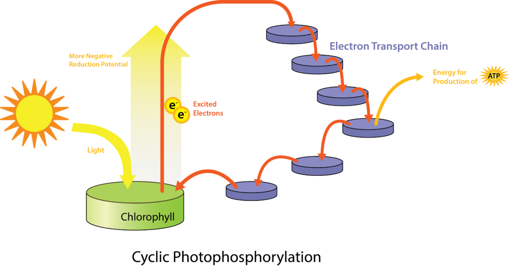 Figure depicting a general system of phototrophy involving an ETS. Photoexcitation of chlorophyll triggers reduction of the first component of the ETS, with chemiosmosis giving rise to a PMF leading to synthesis of ATP by the ATP synthase.