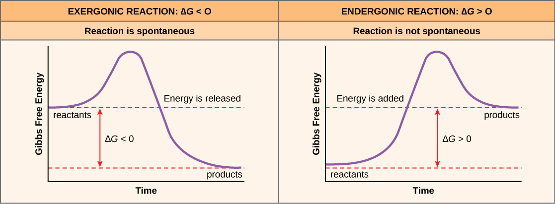 Graphs depicting the Gibbs free energy change of an exergonic reaction and an endergonic reaction