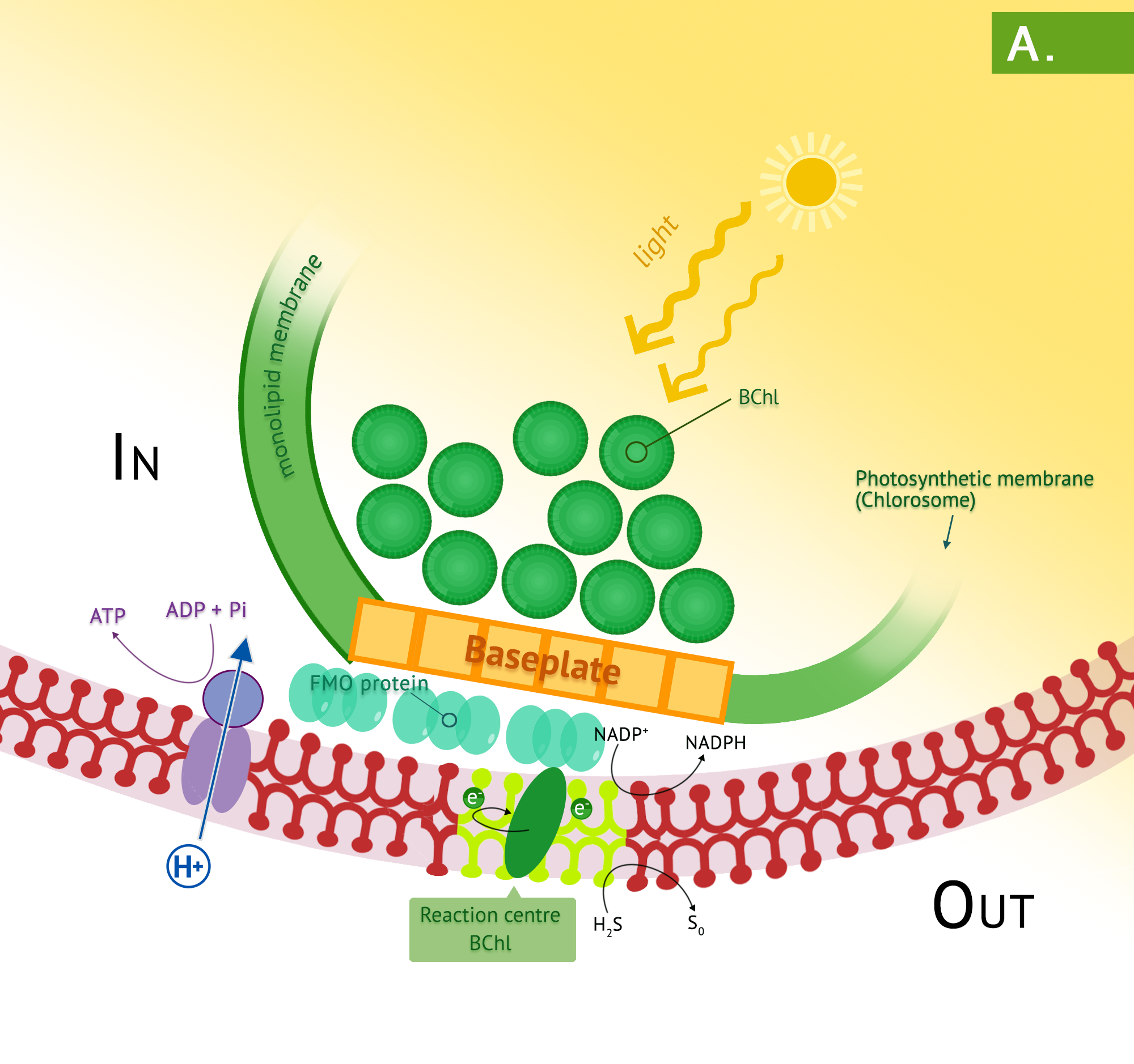 Panel A shows the chlorosomes of the green phototrophic bacteria. The photosynthetic antenna complex of the green phototrophs occurs in chlorosomes. These transfer energy to the green photosystem in the plasma membrane and PMF arising from the photosystem results in synthesis of ATP by the membrane-bound ATP synthase.