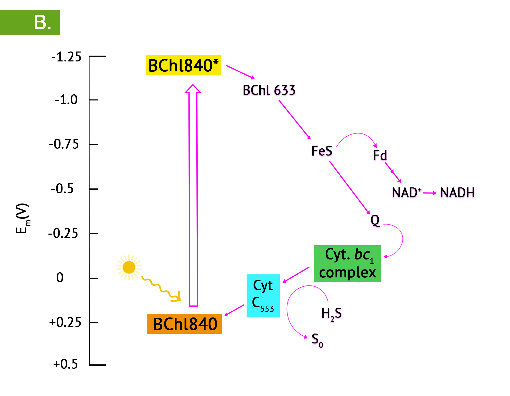 B - upon photoexcitation of the reaction centre bacteriochlorophyll, the strong reduction potential leads to the reduction of another BChl, an iron sulphur protein, then electrons either cycle back via quinones and cytochromes, or flow in an exergonic direction, to ferredoxin (Fd) and finally to NAD+. Noncyclic electron flow is accompanied by photolysis of sulphur compounds such as H2S.