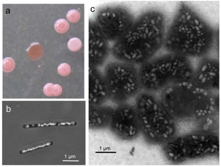 Colonies (a) and cells of Halobacterium salinarum producing gas vesicles (b,c).