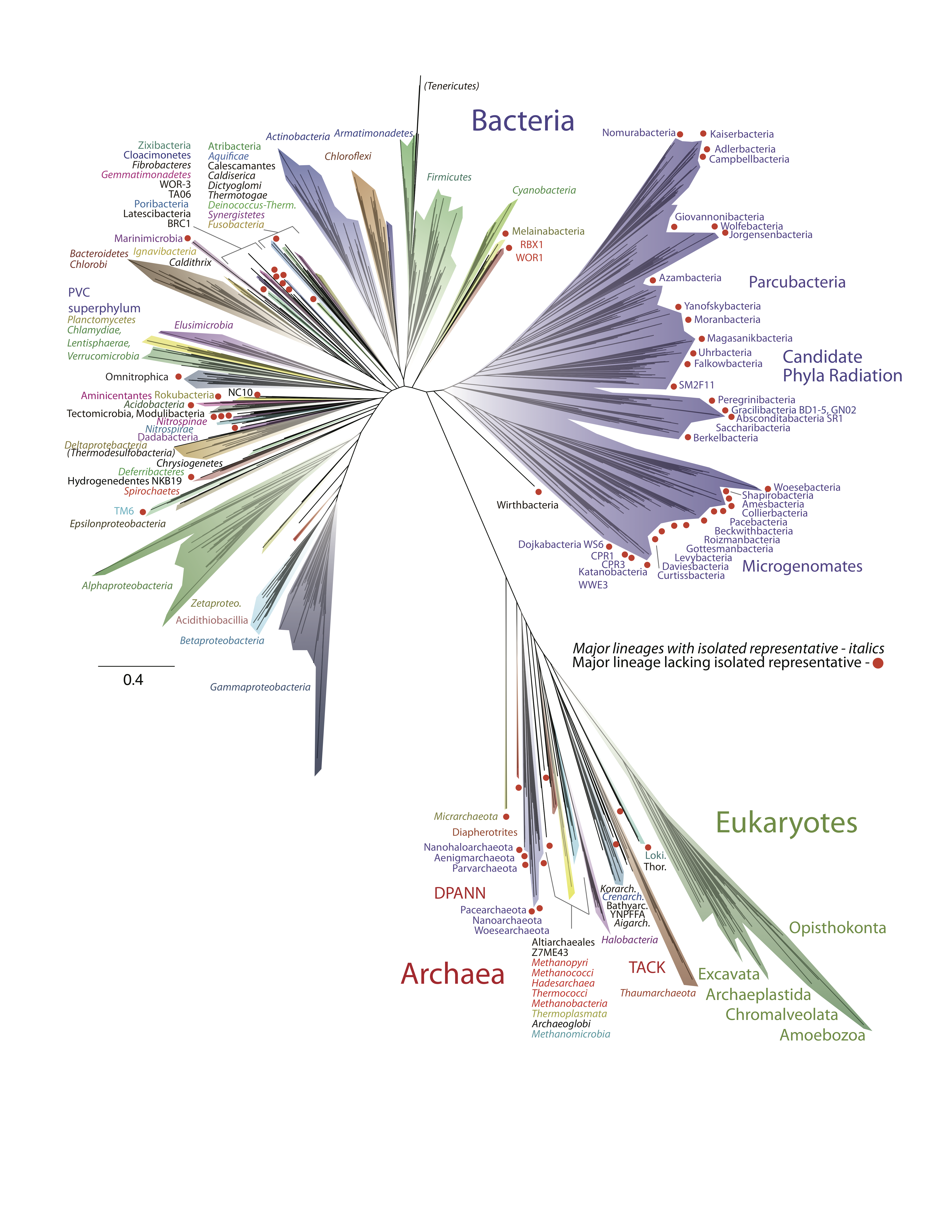 Figure shows An updated tree of life with Archaea at the bottom, along with the Eukaryotes, which emerge from within the archaea.