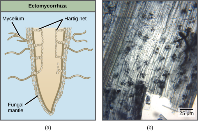 Diagram depicting a cross section of a plant root surrounded by ectomycorrhyzae and light micrograph of arbuscular mycorrhyzae inside of a plant root.