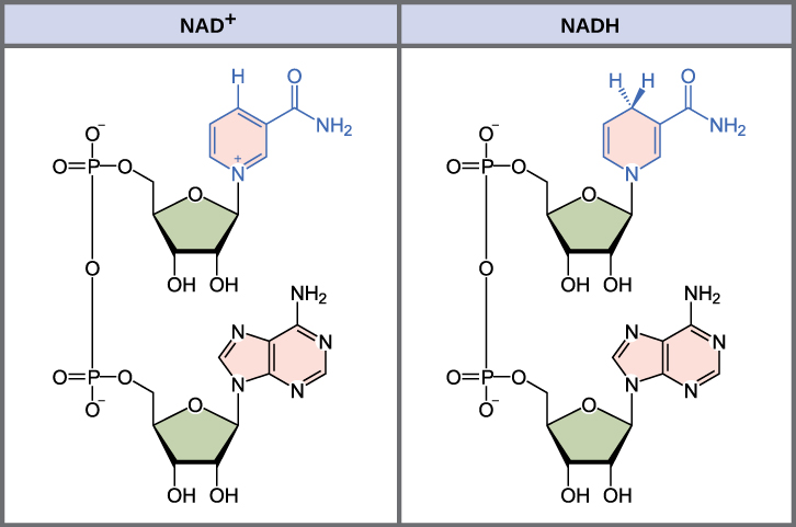 Structures of NAD+ versus NADH