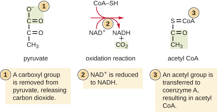 Step 1: A carboxyl group is removed from pyruvate, releasing carbon dioxide. Step 2: NAD+ is reduced to NADH. Step 3: An acetyl group is transferred to coenzyme A, resulting in acetyl CoA.