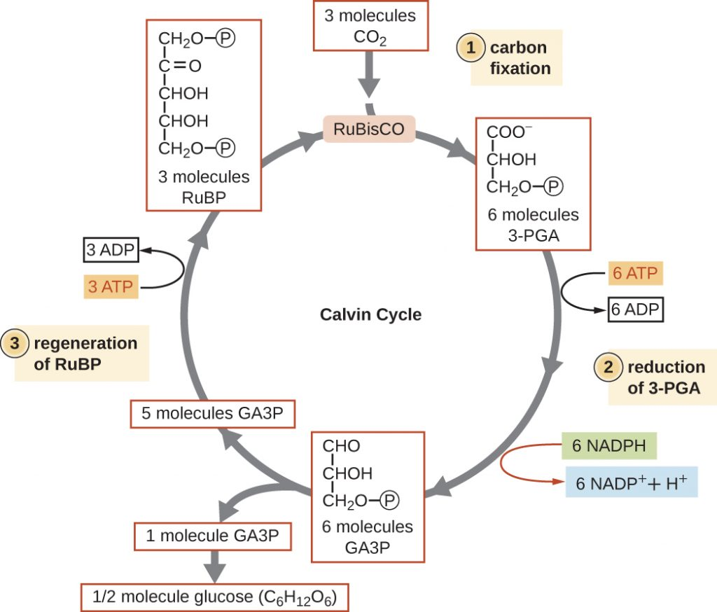 Diagram depicting the 3 stages of the Calvin-Benson cycle.