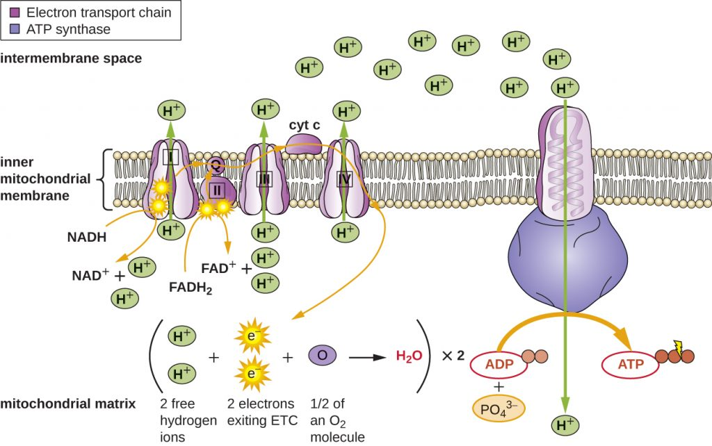 Diagram depicting the electron transport chain in the inner membrane of the mitochondrion.