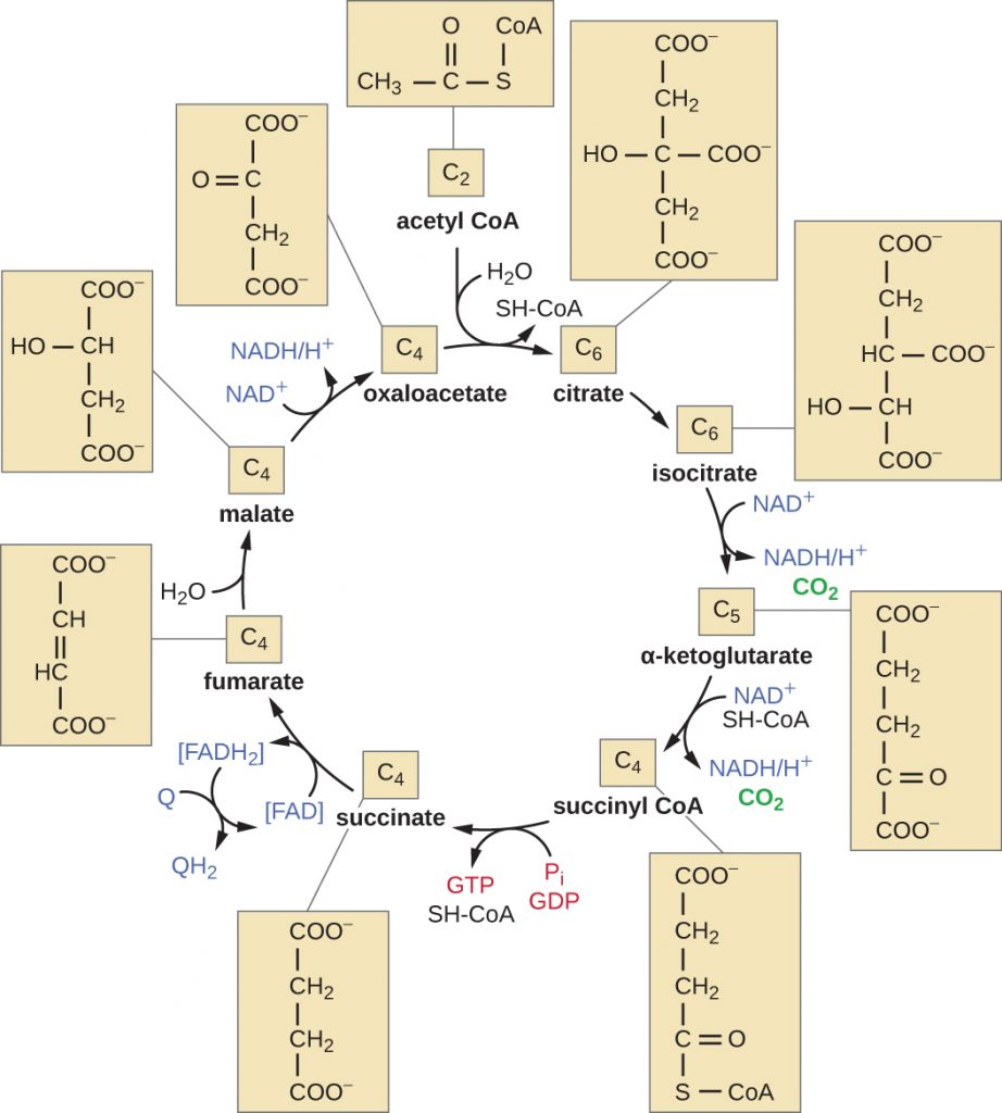 Diagram depicting the citric acid cycle.