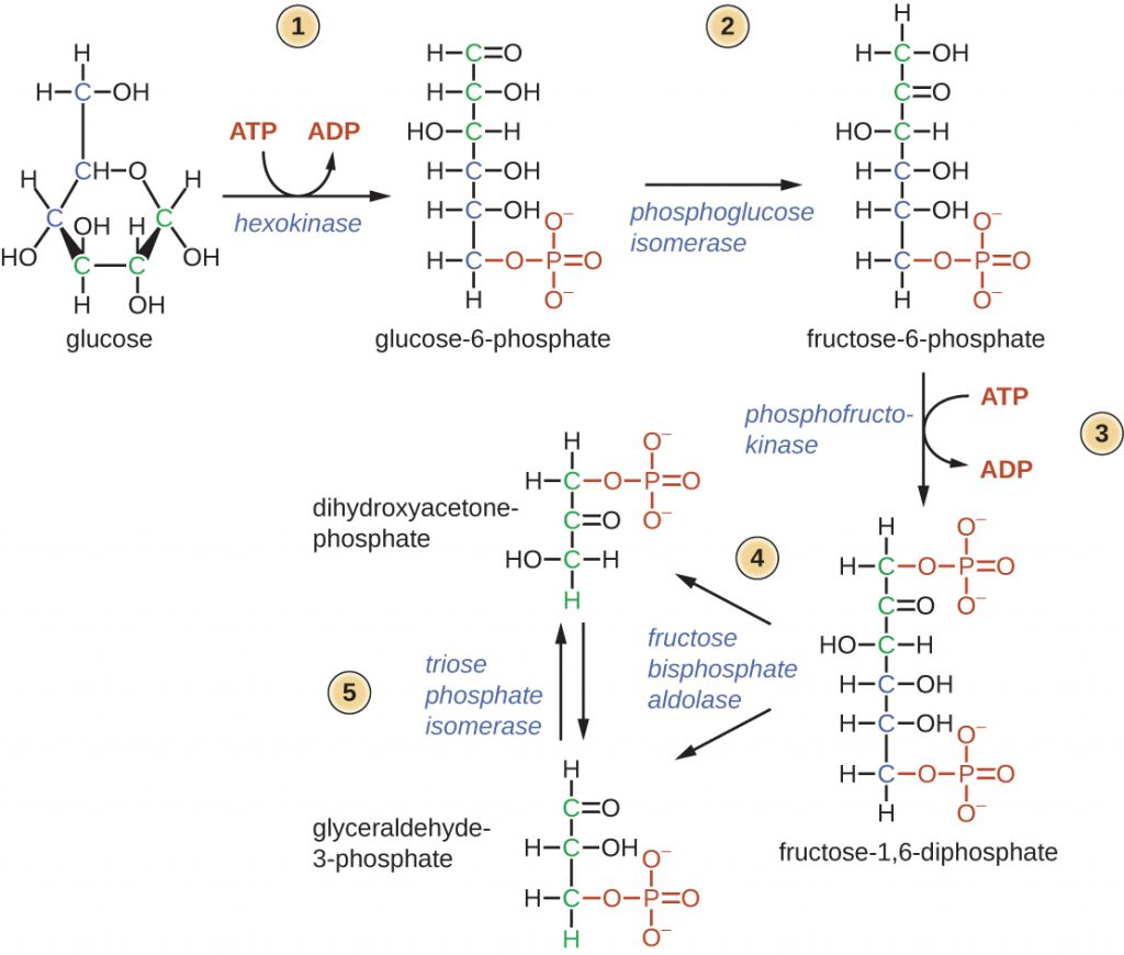 Diagram depicting the first half of glycolysis.