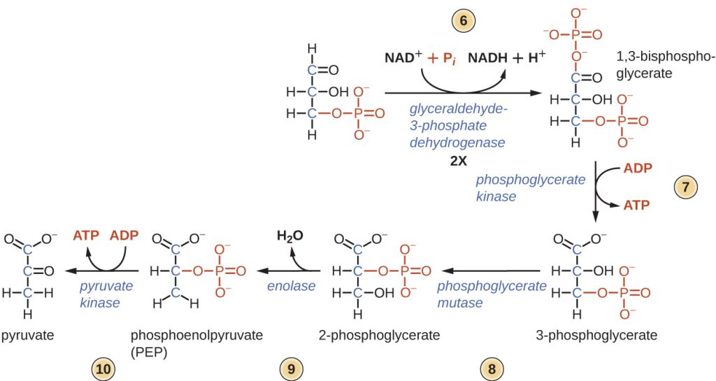 Diagram of the second half of glycolysis.
