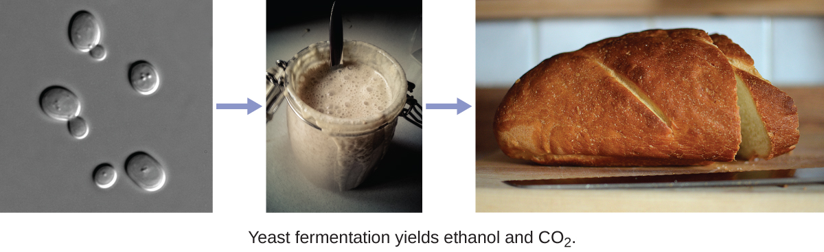 The figure on the left shows oval yeast cells. The middle photograph depicts a fermenting liquid while the photo on the right is a loaf of bread, the product of yeast fermentation.