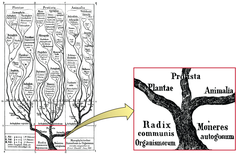 A drawing of a phylogenetic tree of life. Emerging from the base of the tree are three branches, labeled Plantae, Protista, and Animalia. Each of these branches continue branching just like an actual tree.