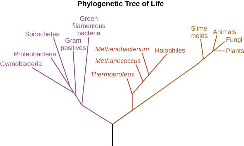 The phylogenetic Tree of Life. A drawing of branching lines. The central line at the bottom branches into two main branches. On the left branch is a purple branch that contains the following sub-branches: Green filamentous bacteria, Gram positives, Cyanobacteria, Proteobacteria, and Spirocheres. The branch to the right subdivides into a red and a brown branch. The brown branch contains the following sub-branches: Smile moulds, Plants, Fungi and Animals. The red branch contains the following sub-branches: Thermoproteus, Methanococcus, Methanobacterium, and Halophiles.