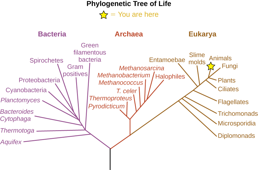 """The phylogenetic Tree of Life. A drawing of branching lines. The central line at the bottom branches into two main branches. On the left branch is the bacterial group. The branch to the right subdivides to the Archaea and Eukarya groups. Additional branches on the Eukarya group from bottom to top are: Diplomonads, Microsporidia, Trichomonads, Flagellates, Entamoebae, Smile moulds, Ciliates, Plants, Fungi and Animals (which has a star labeled """"you are here). Brances along the Archaea group from bottom to top are: Pyrodicticu, Thermoproteus, T. celer, Methanococcus, Methanobacterium, Methanosarcina, and Halophiles. Branches in the Bacterial group from bottom to top are: Aquifex, Thermotoga, Green filamentous bacteria, Bacteroides Cytophaga, Gram positives, Planctomyces, Cyanobacteria, Proteobacteria, and Spirocheres."""