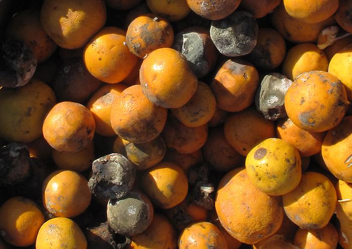 Photograph of mouldy oranges.
