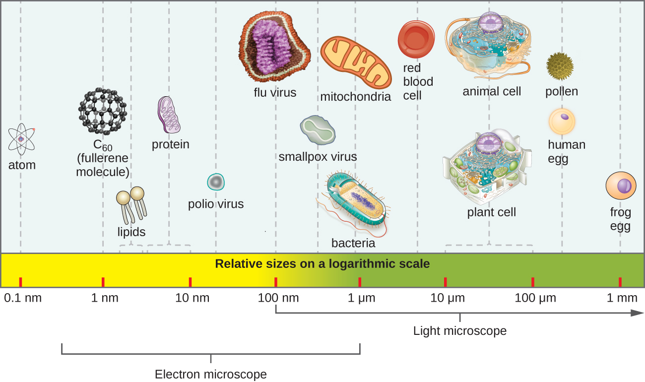 The relative sizes of various microscopic and non-microscopic objects. Objects smaller 100 µm are only visible with a microscope. The typical plant or animal cell is approximately 10-100 µm, while a typical bacterium is roughly 10 times smaller, at approximately 1 µm. Ten times smaller again is a typical virus at 100 nm.