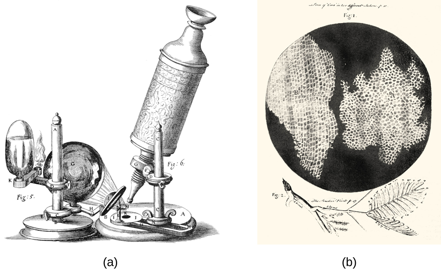 (a) A diagram of a microscope, with a tube, an eyepiece at the top and a small lens pointing at a specimen on the base of the apparatus. A larger lens focuses light from a candle on the specimen. Figure b shows a drawing of a leaf and an inset showing the microscopic view of the leaf's cells.