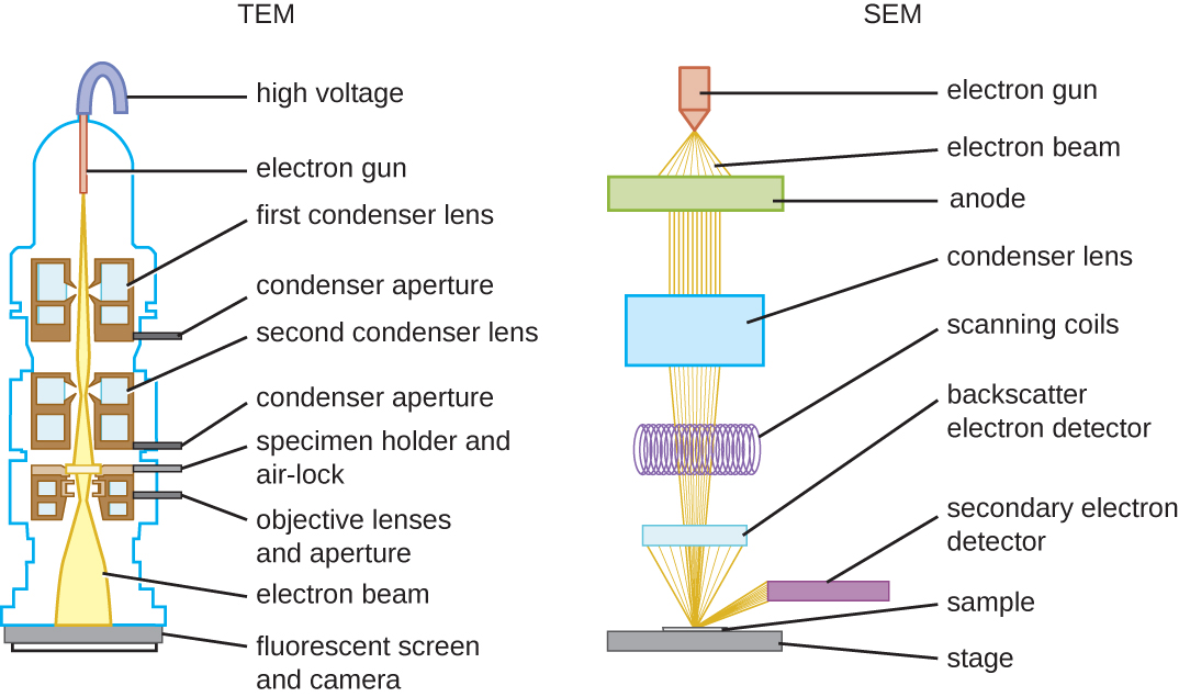 The TEM diagram show a high voltage wire attached to an electron gun which releases a beam of electrons. The electron beam passes by the first condenser lens (connected to a condenser aperture), then the second condenser lens (also connected to a condenser aperture), and then through the specimen on the specimen holder and air lock (which is also connected to an objective lens and aperture). Finally, the electron beam travels to the fluorescent screen and camera. The SEM begins with an electron gun that fires electron beams through an anode, through a condenser lens, through scanning coils and on to the sample on the stage. A backscatter electron detector detects electrons that travel directly back from the sample; secondary electron detectors detect electrons that travel to the sides.