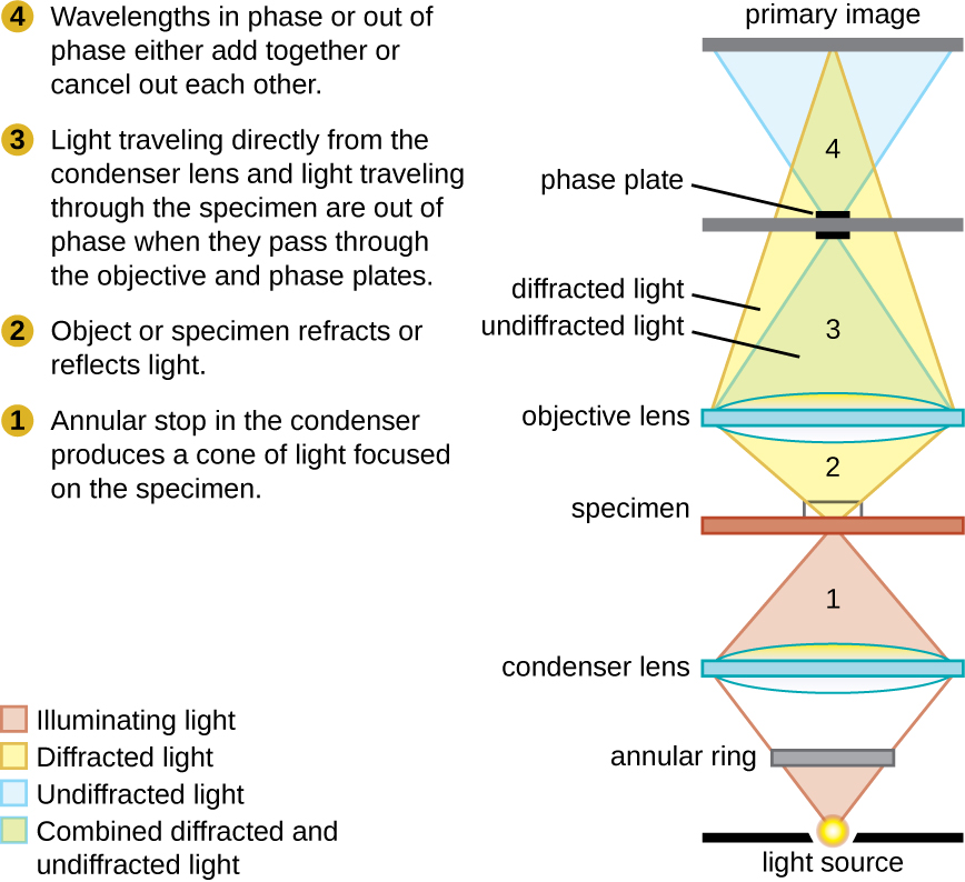 A diagram shows the path of light through a phase-contrast microscope. Light from the light source travels to the annular ring in the condenser which produces a cone of light focused on the specimen. The specimen refracts or reflects light. Light traveling directly from the condenser lens (undiffracted light) and light traveling through the specimen (diffracted light) are out of phase when they pass through the objective and phase plates. Wavelengths in phase or out of phase either add together or cancel out each other.