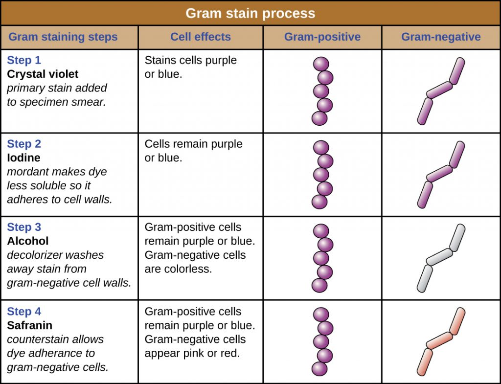 A table summarizing the Gram stain process.