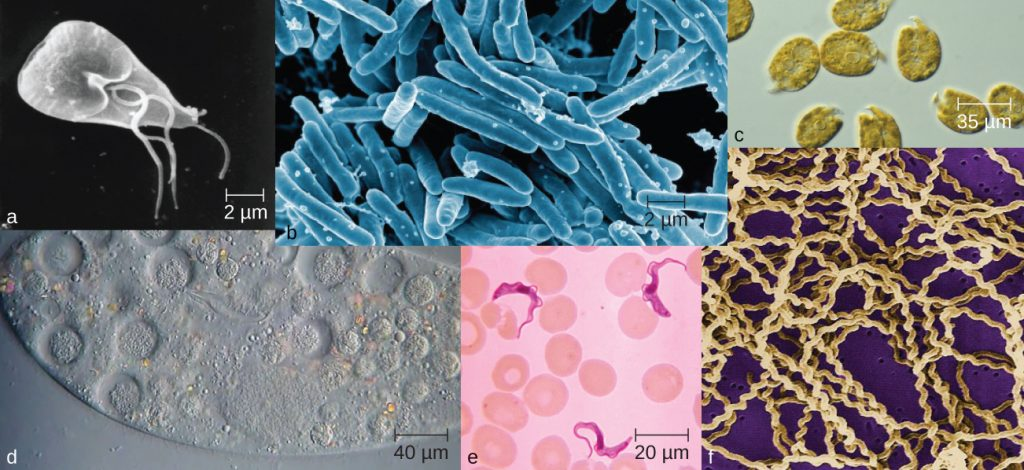 Photos of various microorganisms varying in size and morphology.