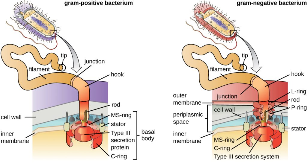 A diagram showing the attachment point of flagella in gram-positive and gram-negative bacteria.