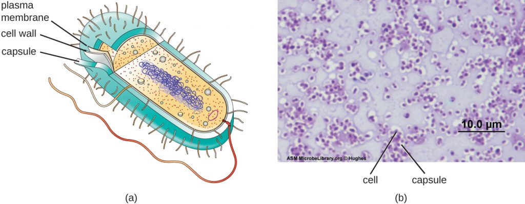 a) A diagram showing the outer structures of bacterial cells. The thick outer layer is labeled capsule. Below that is a thinner cell wall and below that is an even thinner plasma membrane. B) A micrograph showing capsules as clearings outside of red stained cells; the background of the micrograph is a pale pink.