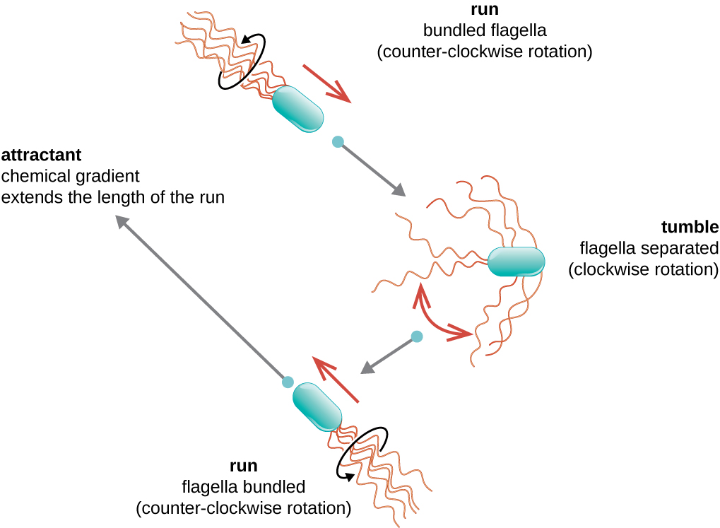 A diagram showing the run and tumble motion of motile bacteria.