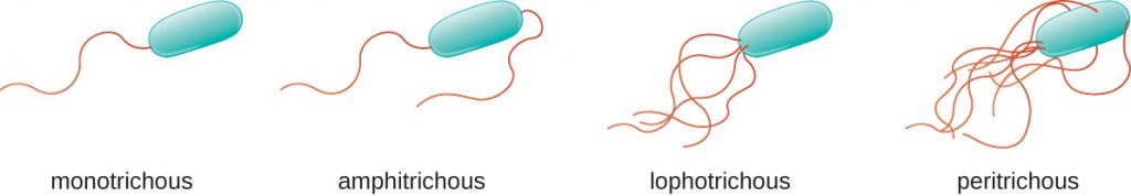 Diagrams of flagellar arrangements. Monotrichous bacteria have a single flagellum at one end. Amphitrichouls bacteria have one flagellum at each end. Lophotrichous bacteria have a tuft of flagella at one end. Peritrichous bacteria have flagella all the way around the outside of the cell.