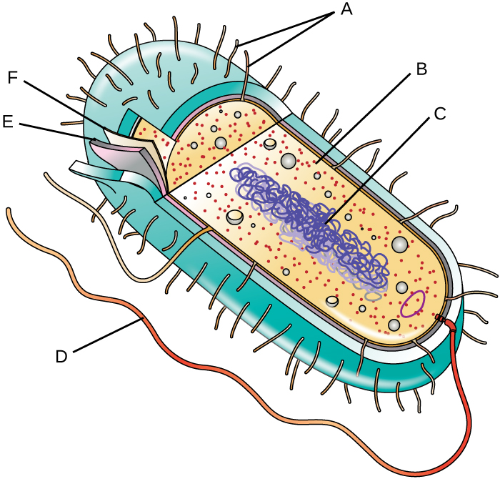 A diagram of a bacterial cell. The thick outer structure of the cell is not lableled. The next layer in (a thinner structure) is labeled E. A much thinner structure inside of that is labeled F. Inside of F is the main body of the cell. Small dots are labeled B. A long line forming a loop is labeled C. On the outside of the cell, short projections are labeled A and a long projection is labeled D.
