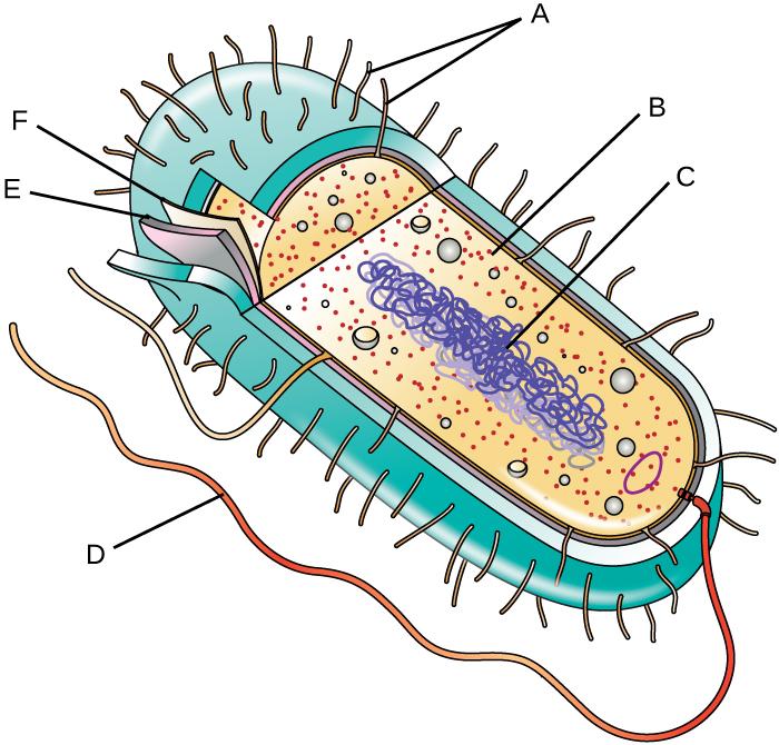 3 3 Unique Characteristics Of Prokaryotic Cells  U2013 Microbiology  Canadian Edition