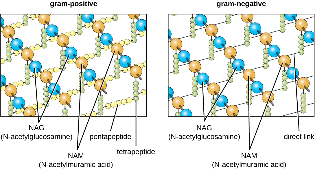 The diagram of the gram-positive and gram-negative cell walls.