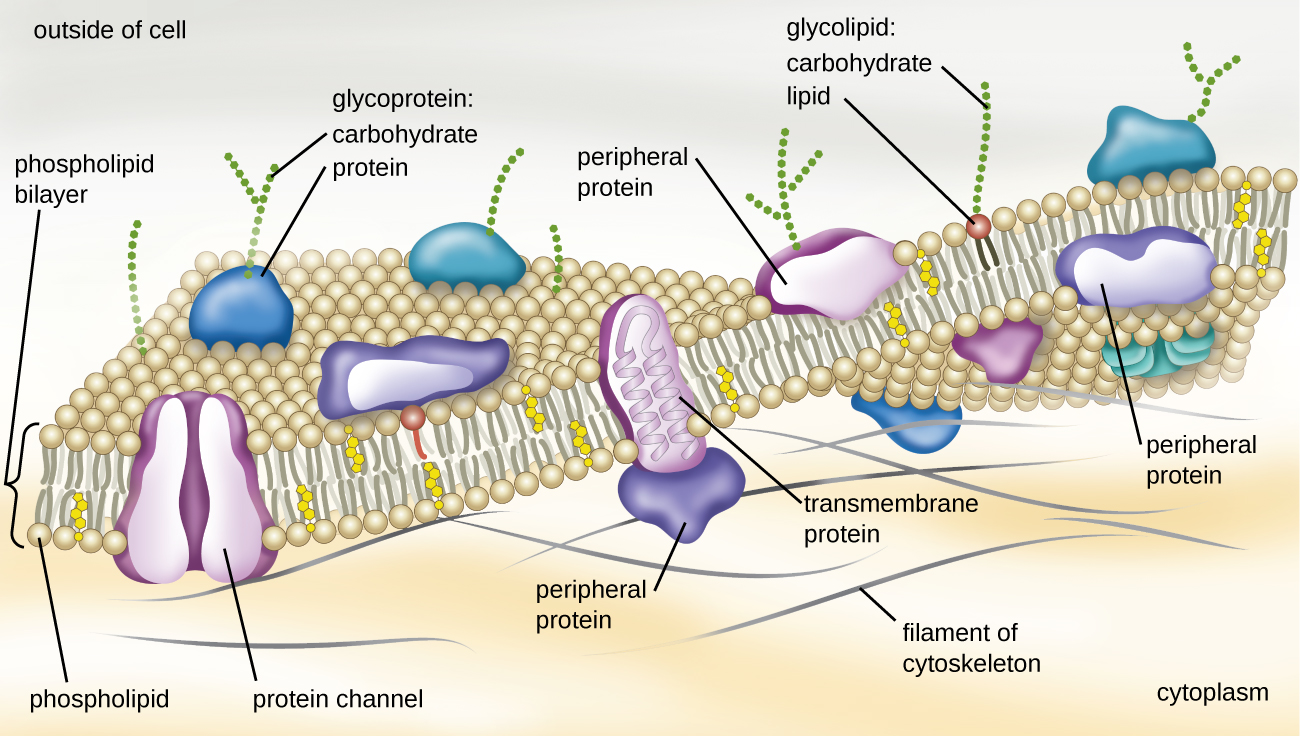 A drawing of the plasma membrane.