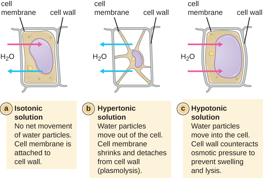 Diagram depicting the effects of differing osmolarity environments on cells with cell walls.