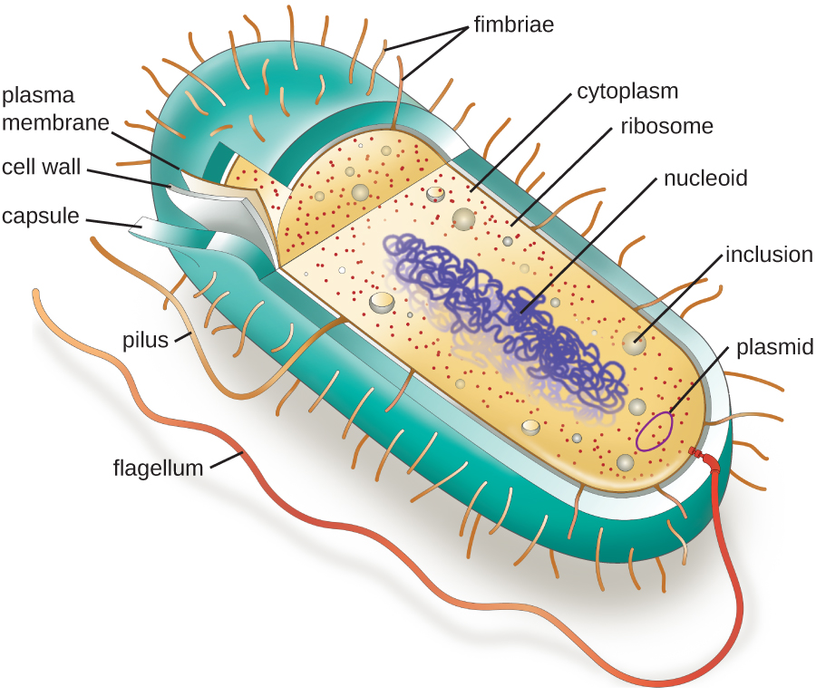 Picture of a typical rod-shaped prokaryotic cell with the major structures labelled.