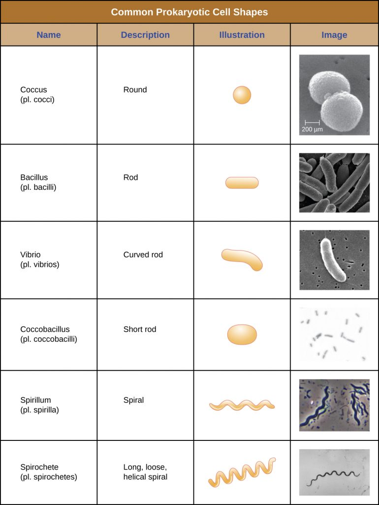 This is a table that summarizes the common prokaryotic cell shapes.