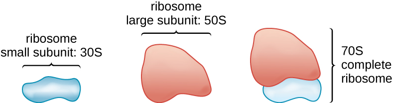 A drawing showing that the complete ribosome is made of a small subunit and a large subunit. The small subunit is about half the size of the large one. The small subunit has a size of 30S, the large subunit has a size of 50S and the complete ribosome (containing both the small and large subunit) has a size of 70S.