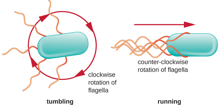 A diagram showing the run and tumble of bacterial motion. The tumble is when a clockwise rotation of flagella cause the bacterial cell to tumble about. The run is when a counter-clockwise rotation of the flagella cause the bacterial cell to move in a linear direction.