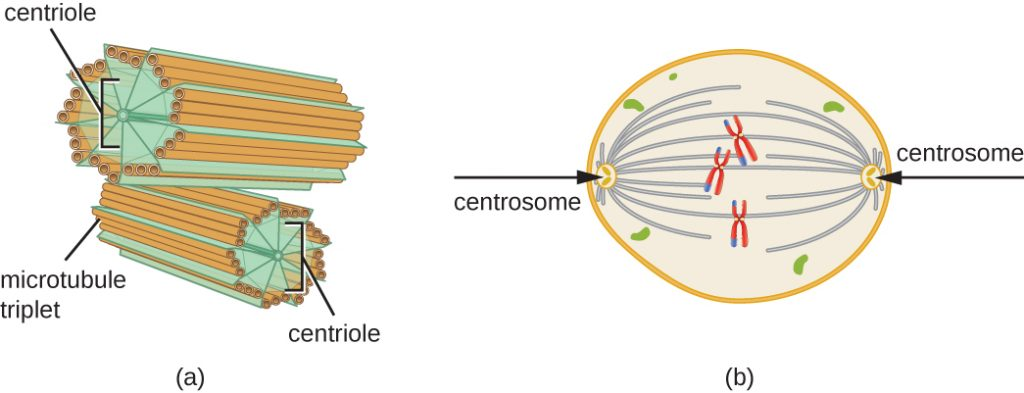 a) Centrosomes are shown as short tubes. The outside of these tubes is made of 9 sets of microtubule triplets. These sets are held together by lines labeled centrioles. B) Centrosomes are shown on the two poles of a cell. Lines connect the centrosomes to chromosomes in the centre of the cell.
