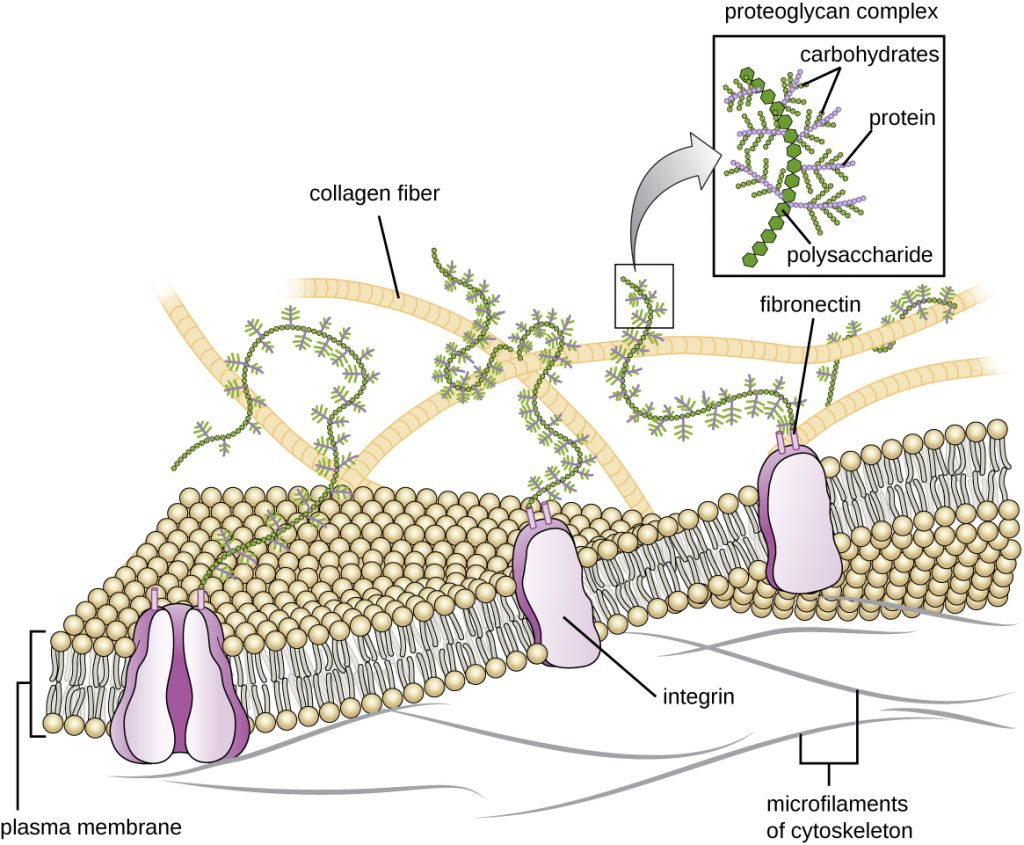 A drawing of the plasma membrane and extracellular matrix.